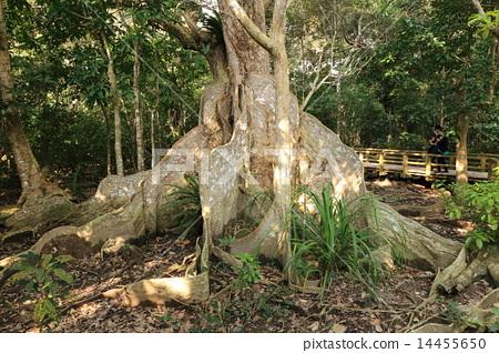 Iriomote island Japan's largest saximasu tree 14455650