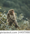 Japanese macaques on branches 14497998
