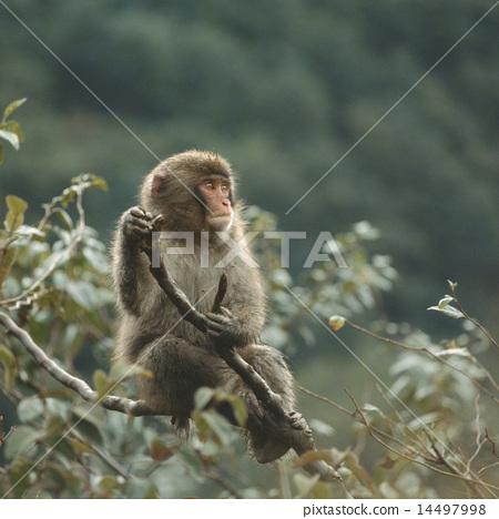 在分支上的日本獼猴 14497998