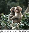 Two Japanese macaques crawling on branches 14498000