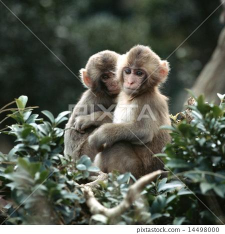 兩隻日本獼猴爬在樹枝上 14498000
