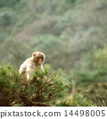 Japanese macaques on branches 14498005