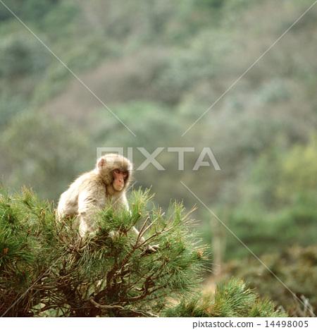 在分支上的日本獼猴 14498005