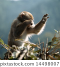 Japanese macaques covering the face on branches 14498007