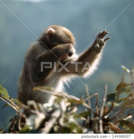日本獼猴覆蓋在樹枝上的臉 14498007