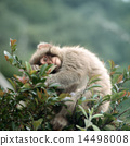 Japanese macaques on branches 14498008