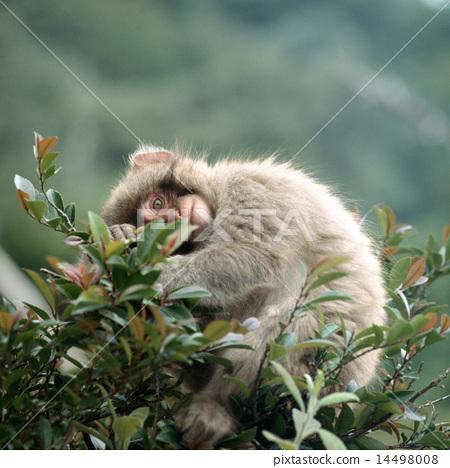 在分支上的日本獼猴 14498008