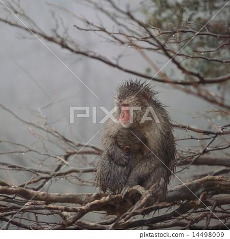 在分支上的日本獼猴 14498009