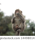 Japanese macaques on trees 14498014