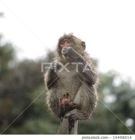 在樹的日本短尾猿 14498014