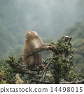Japanese macaques on trees 14498015