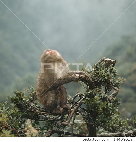 在樹的日本短尾猿 14498015