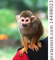 Squirrel monkey 14498023