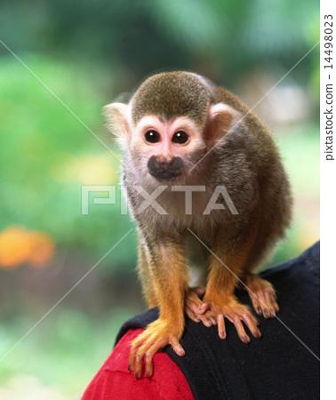 松鼠猴 14498023