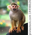 Squirrel monkey 14498026