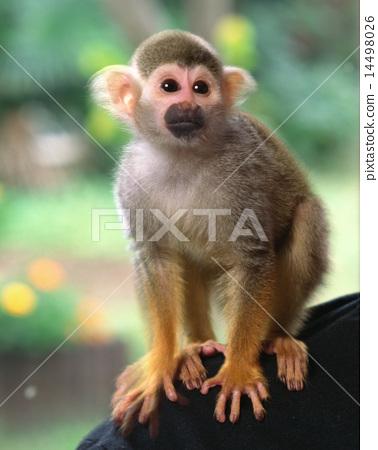 松鼠猴 14498026