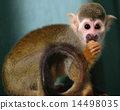 Squirrel monkey 14498035
