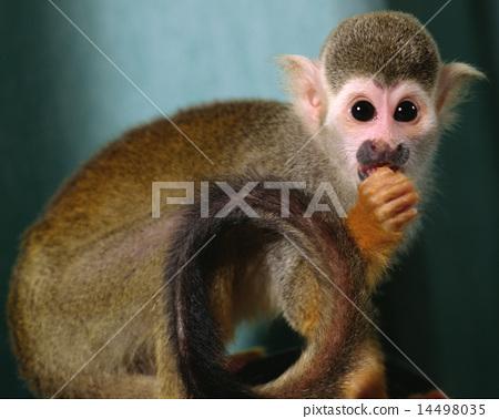 松鼠猴 14498035
