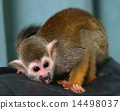 Squirrel monkey 14498037