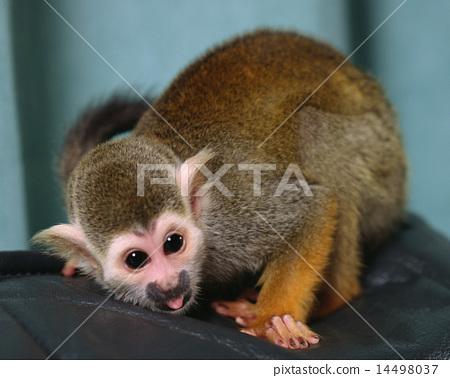 松鼠猴 14498037