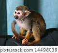 Squirrel monkey 14498039