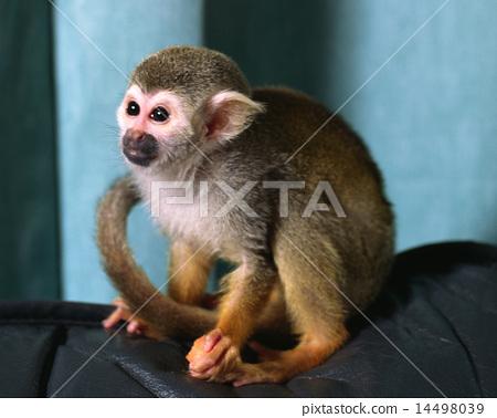 松鼠猴 14498039