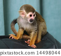 Squirrel monkey 14498044