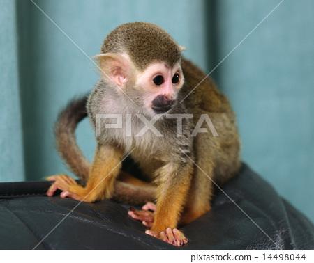 松鼠猴 14498044