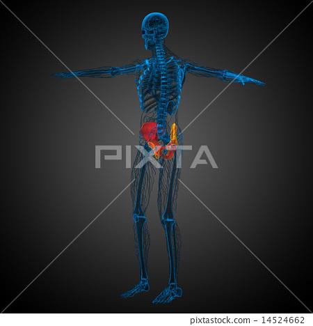 3d render medical illustration of the pelvis bone 14524662