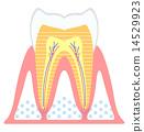 齒輪 牙齒 防止蛀牙 14529923