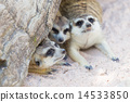 Meercat family under a tree 14533850