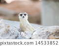 Meercat relax while guarding 14533852