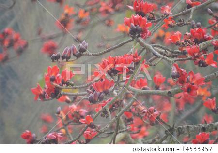 Cotton Tree 14533957