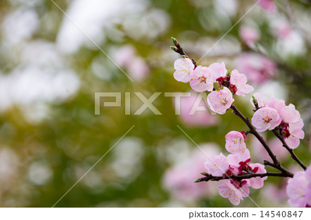Apricot flower and bamboo grove 14540847