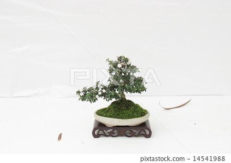 Bonsai pine tree against a white wall 14541988