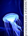 jellyfish 14564067