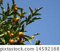 Kumquat 14592168
