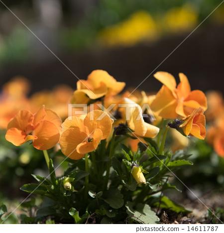 中提琴 橙色 橙子 14611787