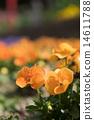 中提琴 橙色 橙子 14611788