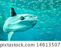 翻车鱼 鱼 游泳 14613507