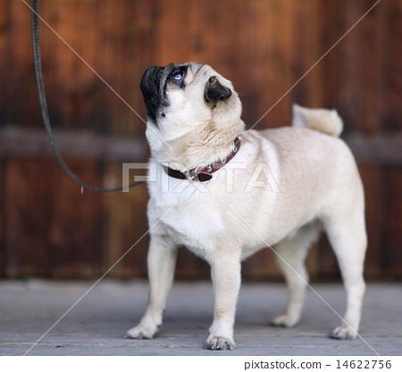 pug dog 14622756