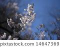 ดอกซากุระบาน,ซากุระบาน,ฤดูใบไม้ผลิ 14647369