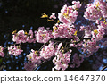 ดอกซากุระบาน,ซากุระบาน,ฤดูใบไม้ผลิ 14647370