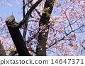 ดอกซากุระบาน,ซากุระบาน,ฤดูใบไม้ผลิ 14647371