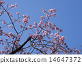cherry blossom, cherry tree, bloom 14647372
