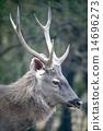 Profile of male sambar deer 14696273