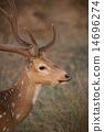 Profile of spotted deer 14696274