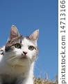 猫 猫咪 蓝天 14713166