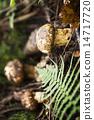 Mushroom 14717720