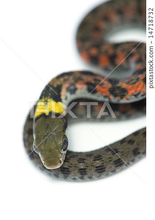 Yamakagashi - Rhabdophis tigrinus 14718732